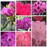 Rhododendron/Azaleen
